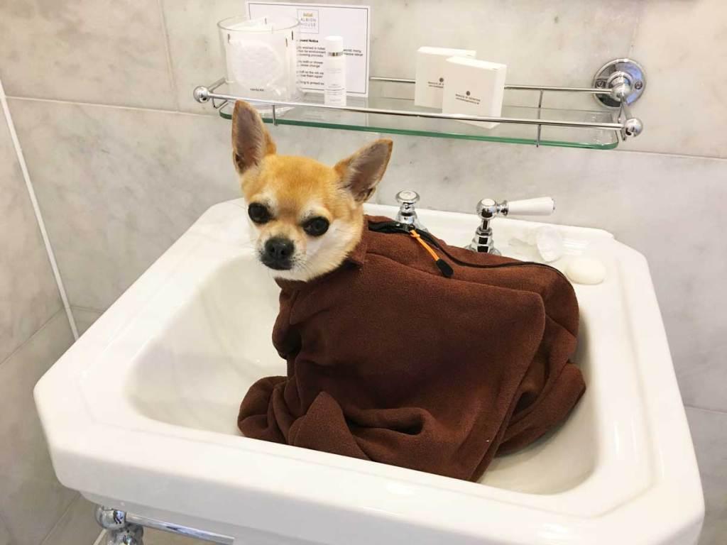 Chilliwawa in his Doggy Bag