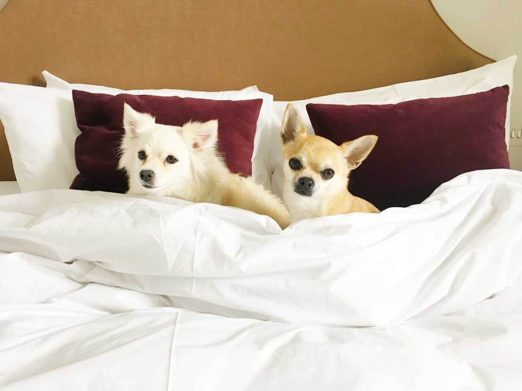 Chilli Chihuahua and girlfriend in hotel bed