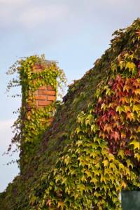 ivy covering on the roof and chimney