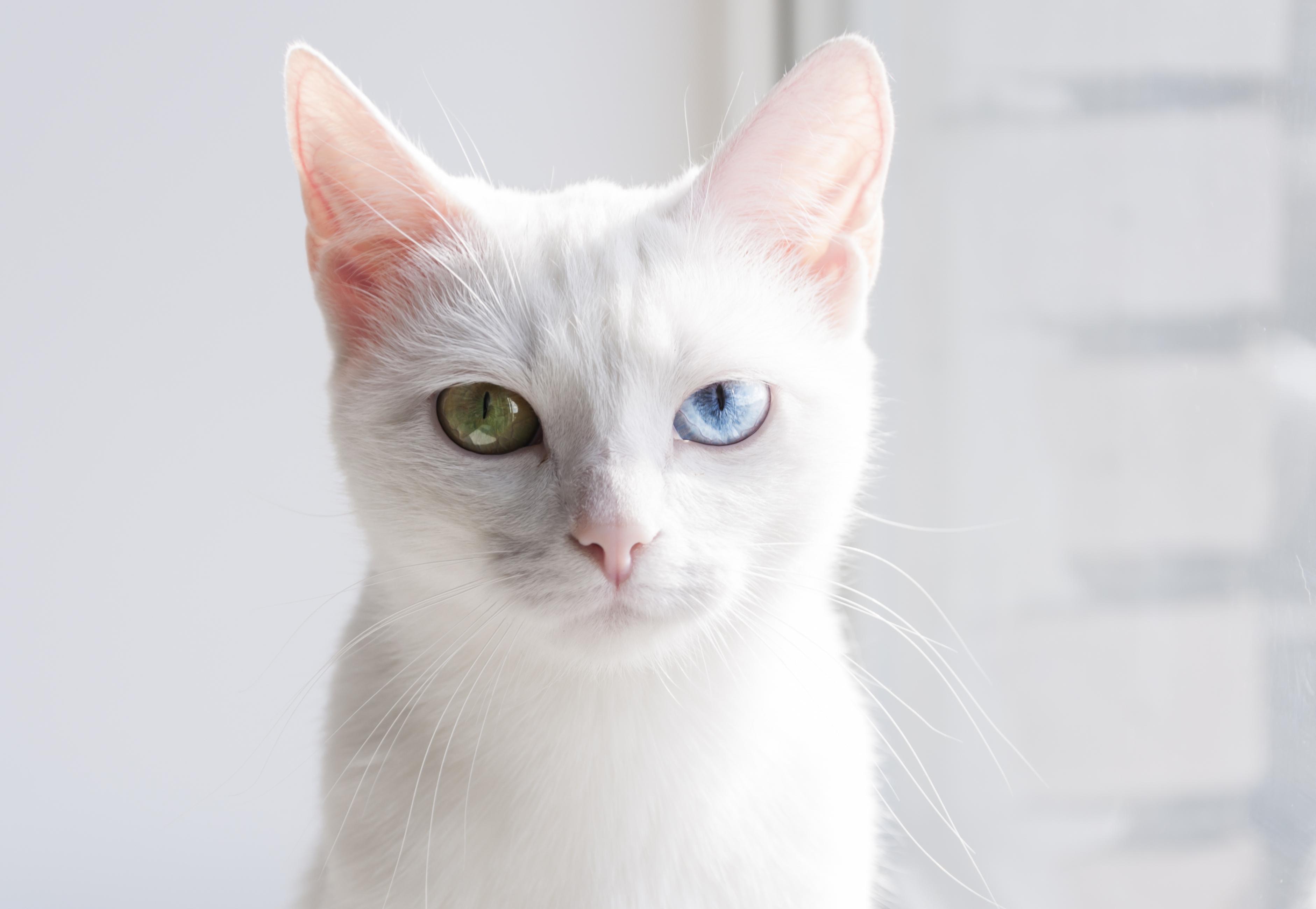5 สิ่งที่คุณอาจไม่เคยรู้เกี่ยวกับแมวขาวมณี - chimlang |  บทความเกี่ยวกับสัตว์เลี้ยงน่ารัก