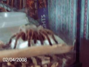 Hermy, my tarantula