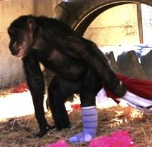 Missy wearing sock, pulling blankets