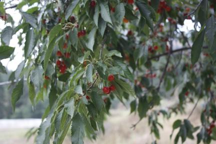 web-cherry-tree_mg_2871