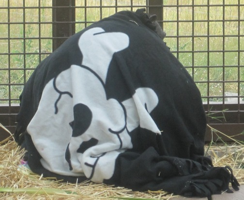 Negra wearing pirate blanket