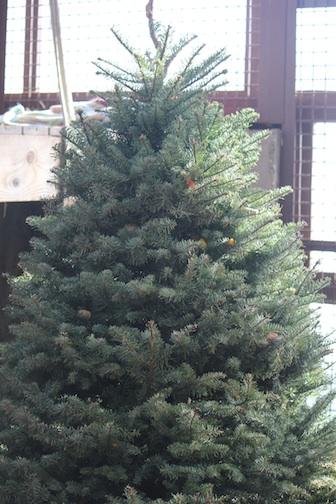 christmas tree for forage