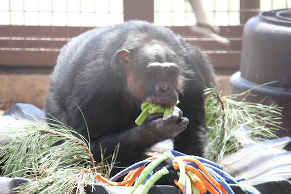 Negra mouth full of celery