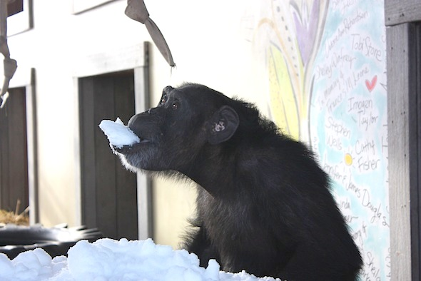 Foxie eating snow from tub 3