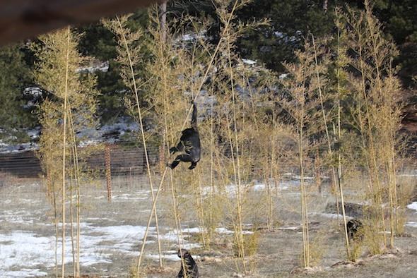 Missy climbing bamboo