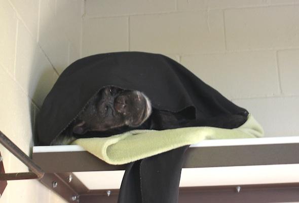 Negra under blanket in front room