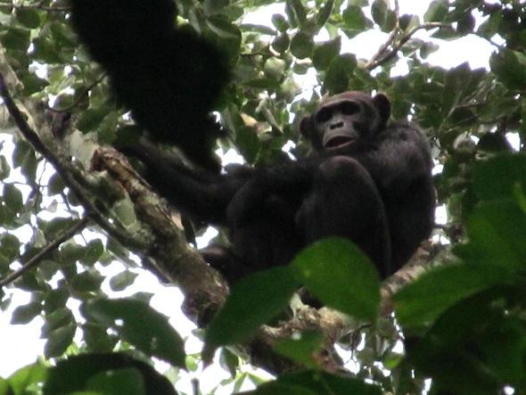 7 male chimp gangu forest