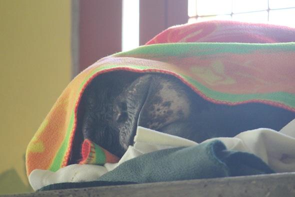 Negra under a blanket