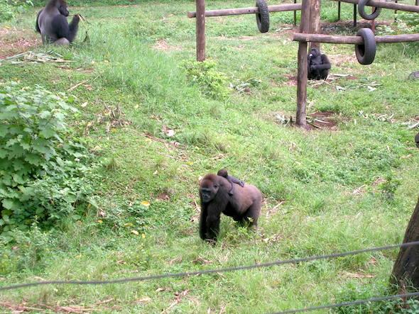 gorillas in africa sanctuary