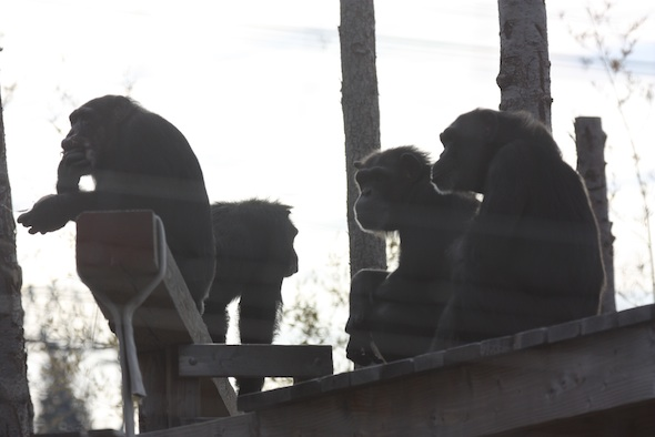 web_Missy_coconut_YH_don_day_four_chimp_silhouette_jb_IMG_6825