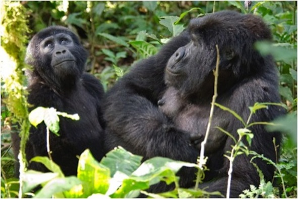 bwindi impentrable forest gorillas