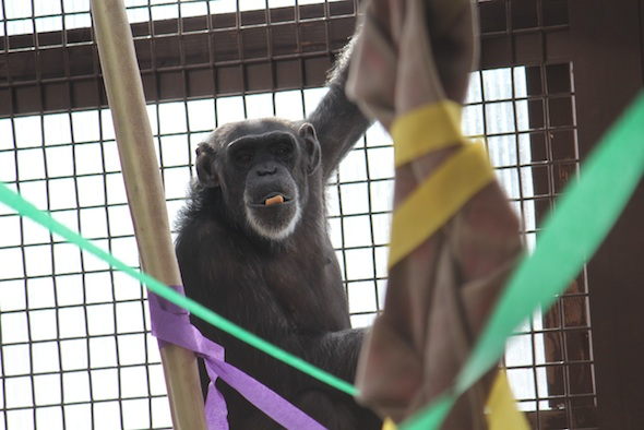 web_Foxie_mardi_gras_forage_chow_in_mouth_cling_on_cage_GH_ls_IMG_9407