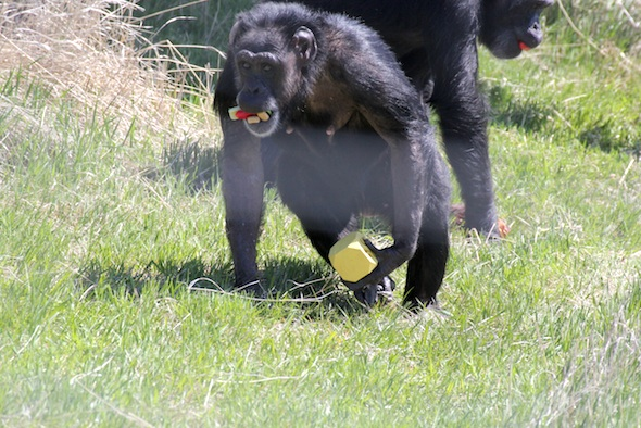 web_jody_carry_kong_enrichment_forage_YH_dm_IMG_9054