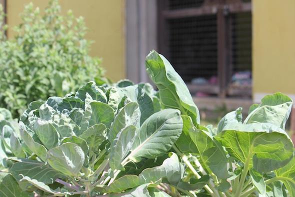 web_garden_cabbage_outside_barn_doors_kd_IMG_0720