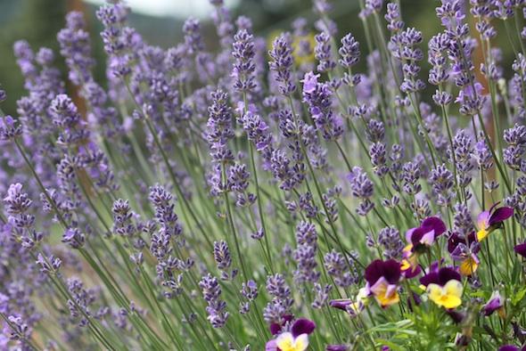 web_lavendar_pansies_kd_IMG_0732