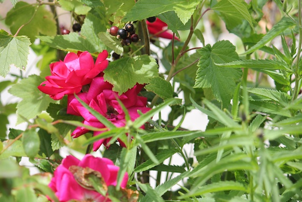 web_roses_currants_kd_IMG_0734