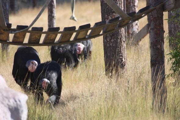 web_four_chimps_Jody_Burrito_Jamie_Foxie_patrol_YH_jb_IMG_2730
