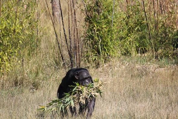 web_Jody_walk_harvest_bamboo_in_mouth_YH_ek_IMG_4861