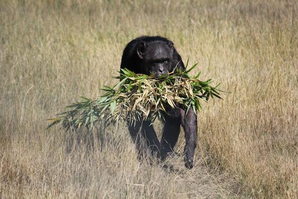 web_Jody_walk_harvest_bamboo_in_mouth_YH_ek_IMG_4862