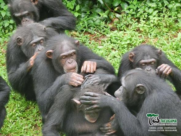 web-tacugama-chimps-groom