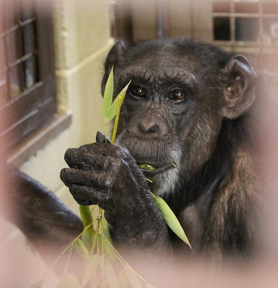 web_Jody_eat_bamboo_forage_sit_floor_FRs_kh_IMG_0779