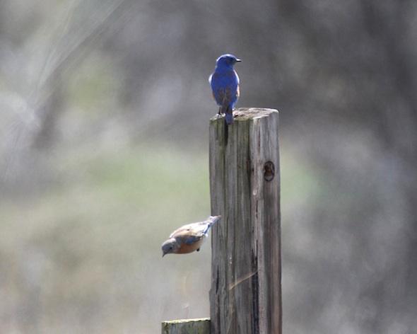 web_bluebird_couple_female_torpedo_kd_IMG_5631