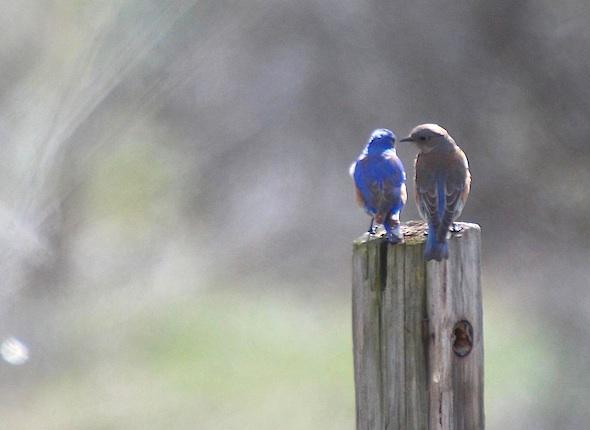 web_bluebird_couple_post_kd_IMG_5630