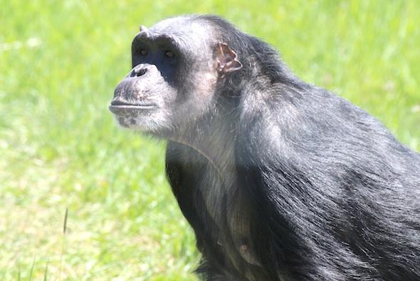 Negra looking at visitors