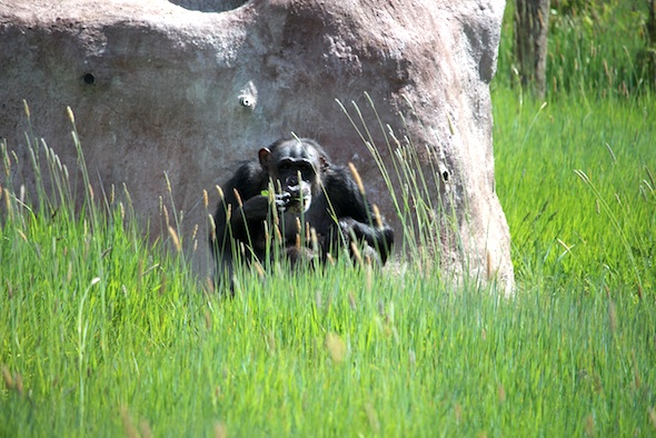 web_negra_sit_in_green_grass_eat_weeds_yh_dm_IMG_2786