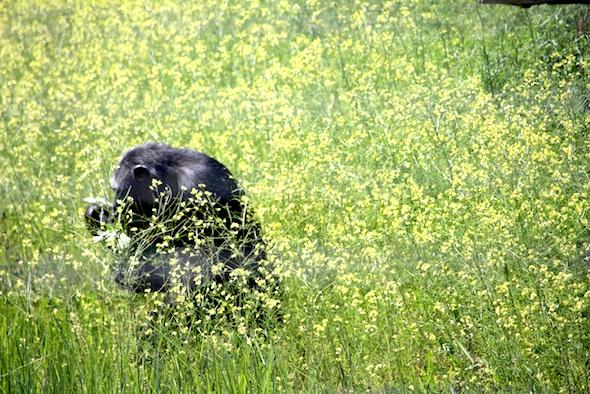 web_Missy_walk_through_mustard_weeds_in_mouth_YH_jb_IMG_3559
