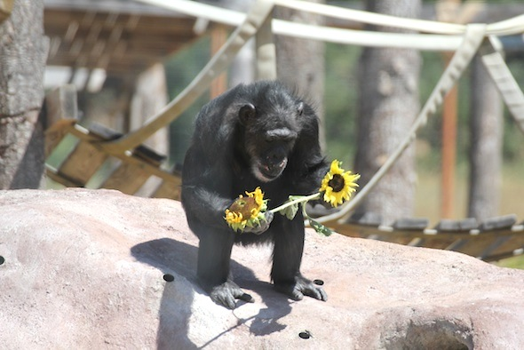 Missy with sunflowers