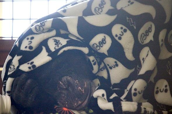 Negra under boo blanket