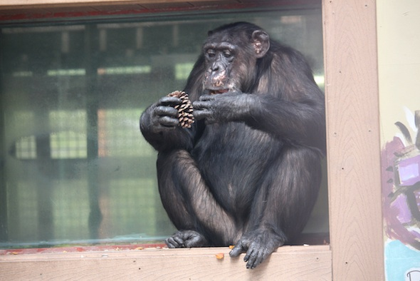 web_Missy_sit_window_sill_eat_pine_cone_evening_enrichment_IMG_4390