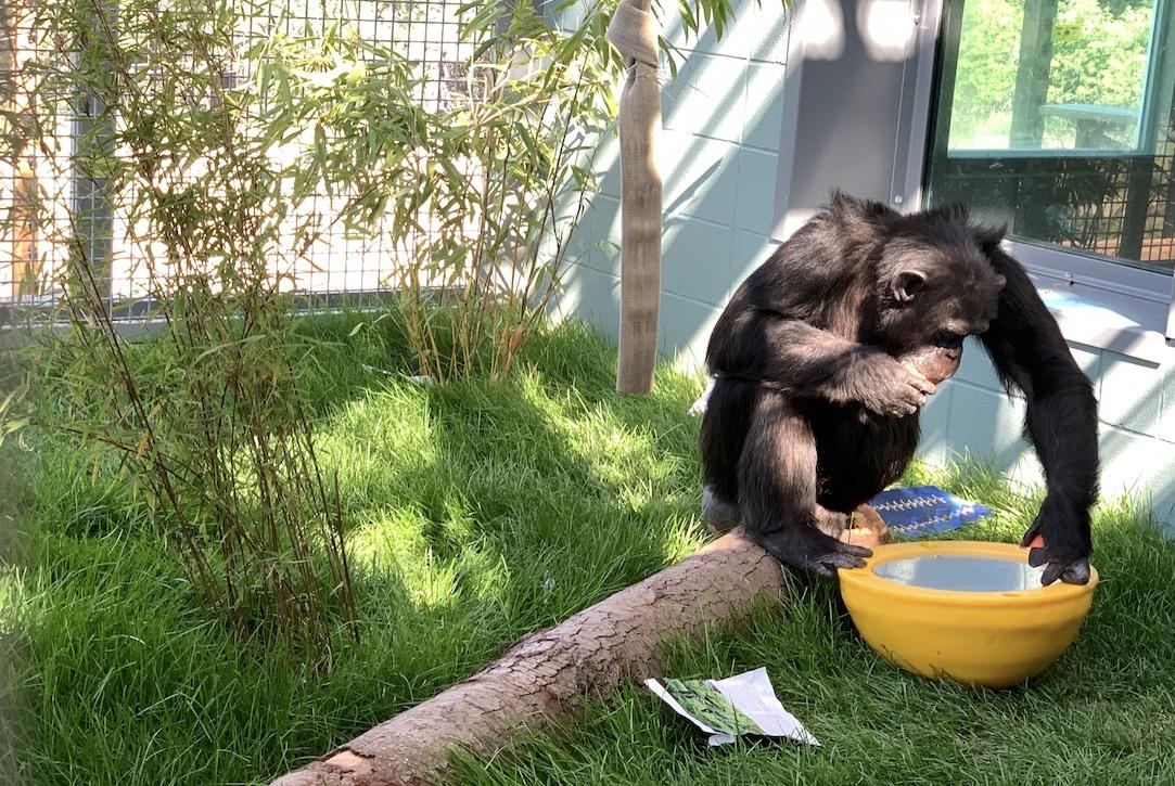 Dora Chimpanzee