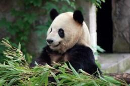 Chongqing, Panda