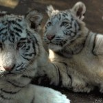 animals of China - white tigers