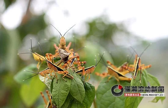 Locust invasion in China