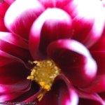 flor-de-mal-china-016