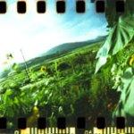 Spinner360_Sunflowers