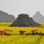 Luoping golden fields