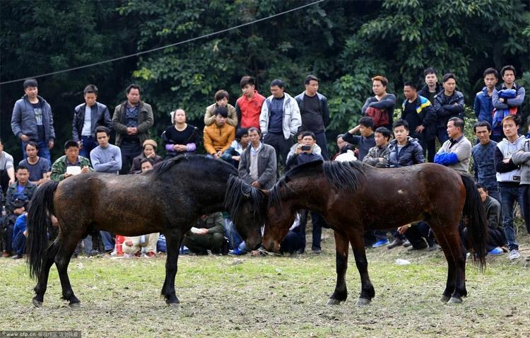 Horse fight club