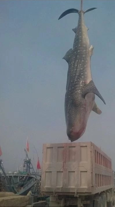 Whale Shark Fishing in China