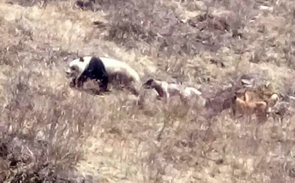 Giant Panda chased by a pack of dogs