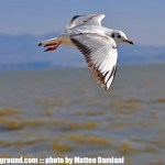 dianchi-yunnan-kunming-china-seagull