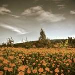dianchi-yunnan-kunming-china-flowers-field