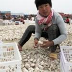 CHINA-AGRICULTURE-GARLIC-4