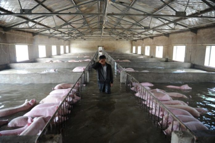 An employee wipes away tears as he walks through a flooded farm, where pigs cannot be moved away from due to an environmental protection and epidemic prevention measure, before he leaves for safer place in Liu'an, Anhui Province. REUTERS/Stringer